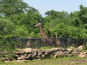 Giraffes and Kansas City Zoo