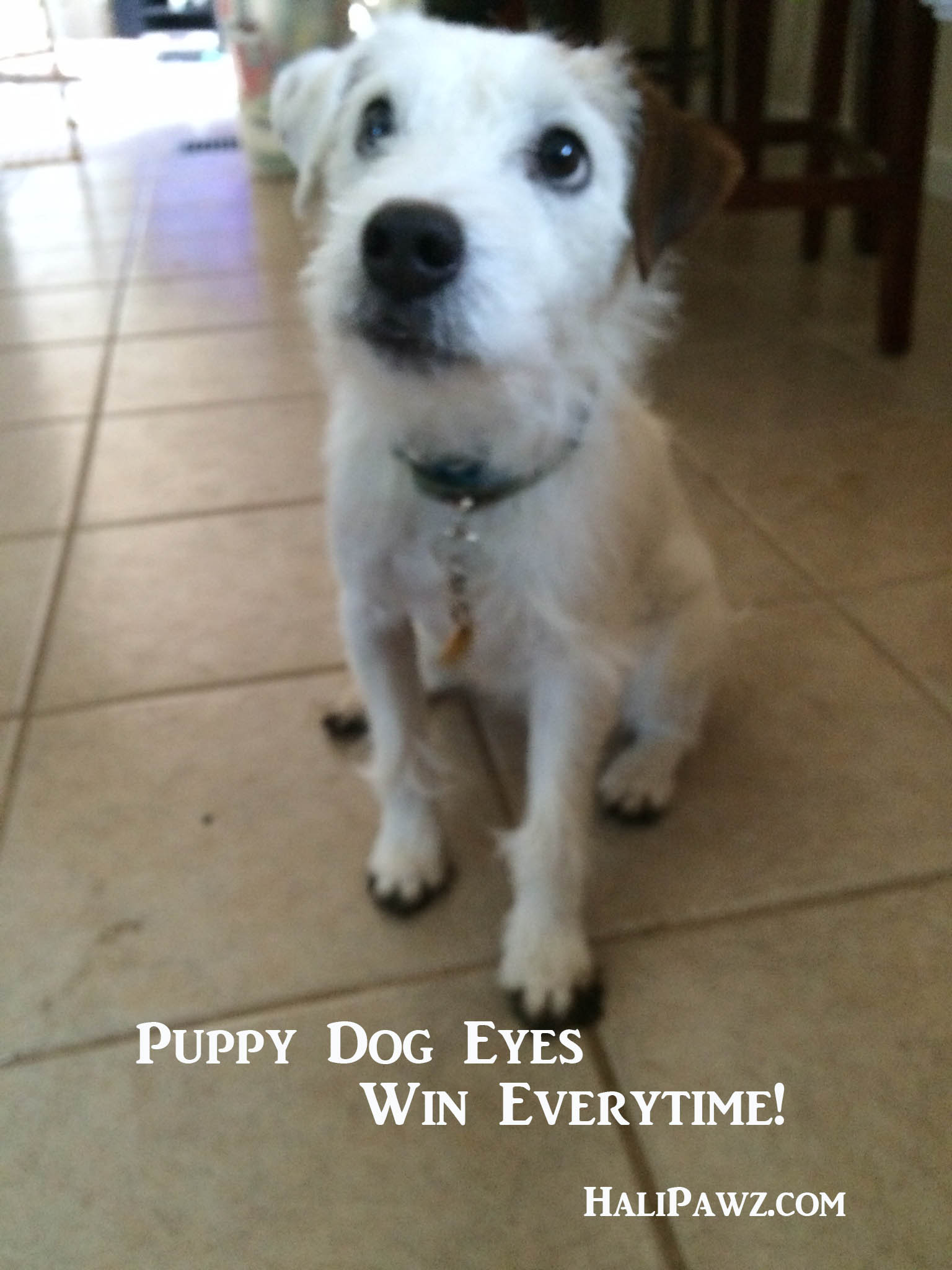 puppy dog eyes parsons russell terrier halipawz